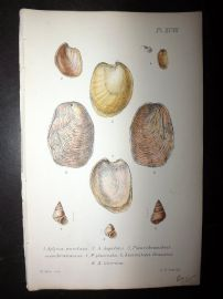 Jeffreys 1869 Antique Hand Col Shell Print. Aplysia 97